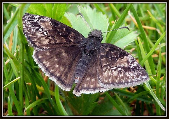 Wild Indigo Duskywing (Erynnis baptisiae)