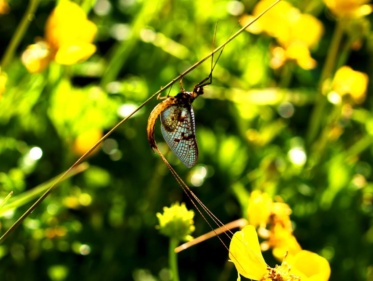 Green Drake or Common Mayfly