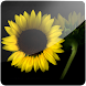 3D Sunflower I