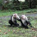 Mono capuchino de cara blanca
