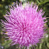 Cardo borriquero. Cotton Thistle