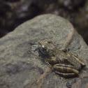Kajika Frog,カジカガエル