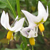White Nightshade
