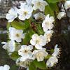 Vogel-Kirsche (Wild Cherry)