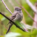 Hammond`s Flycatcher