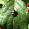 Green Stink Bug (fourth instar nymph)
