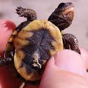 Eastern Box Turtle Hatchlings