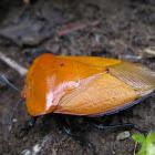 Tessaratoma bug