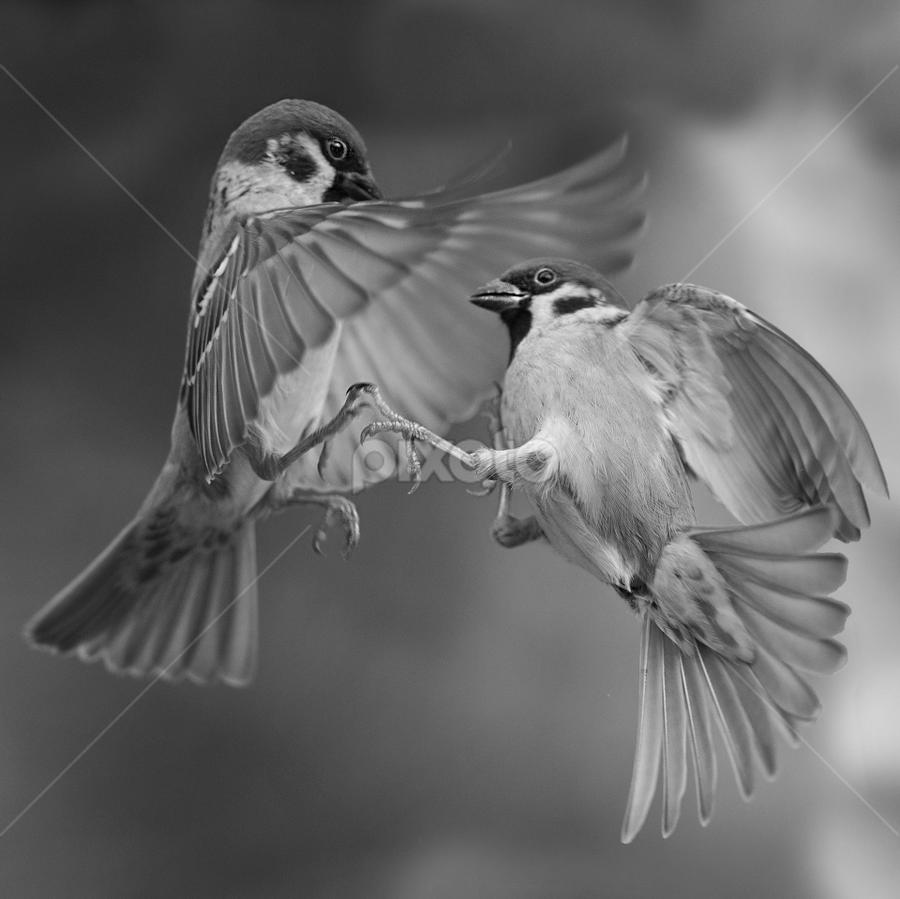 passer sparrow by Dragomir Taborin - Black & White Animals