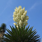 Yuca Flowers