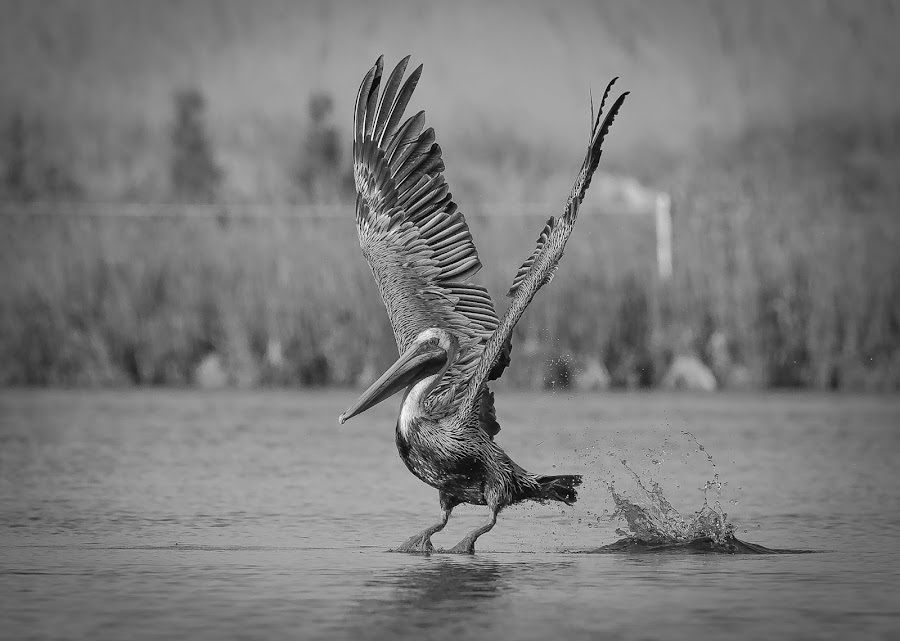 Smooth Landing by Jared Lantzman - Black & White Animals ( bird, wings, nest, pelican, birds, , fly, flight )