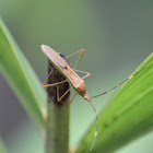 Paddy Bug / Slender rice bugs / walang sangit (Indonesian local name)