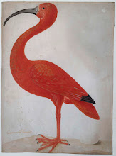 Scarlet Ibis with an Egg