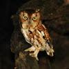 Eastern screech owl red morph