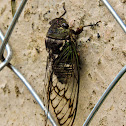 Cigarra(Cicada)