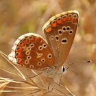 butterfly - The Common Blue