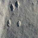 Eastern cottontail rabbit tracks