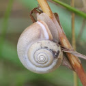 Cartusian Snail