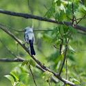 Blue-Gray Gnatcatcher (male)