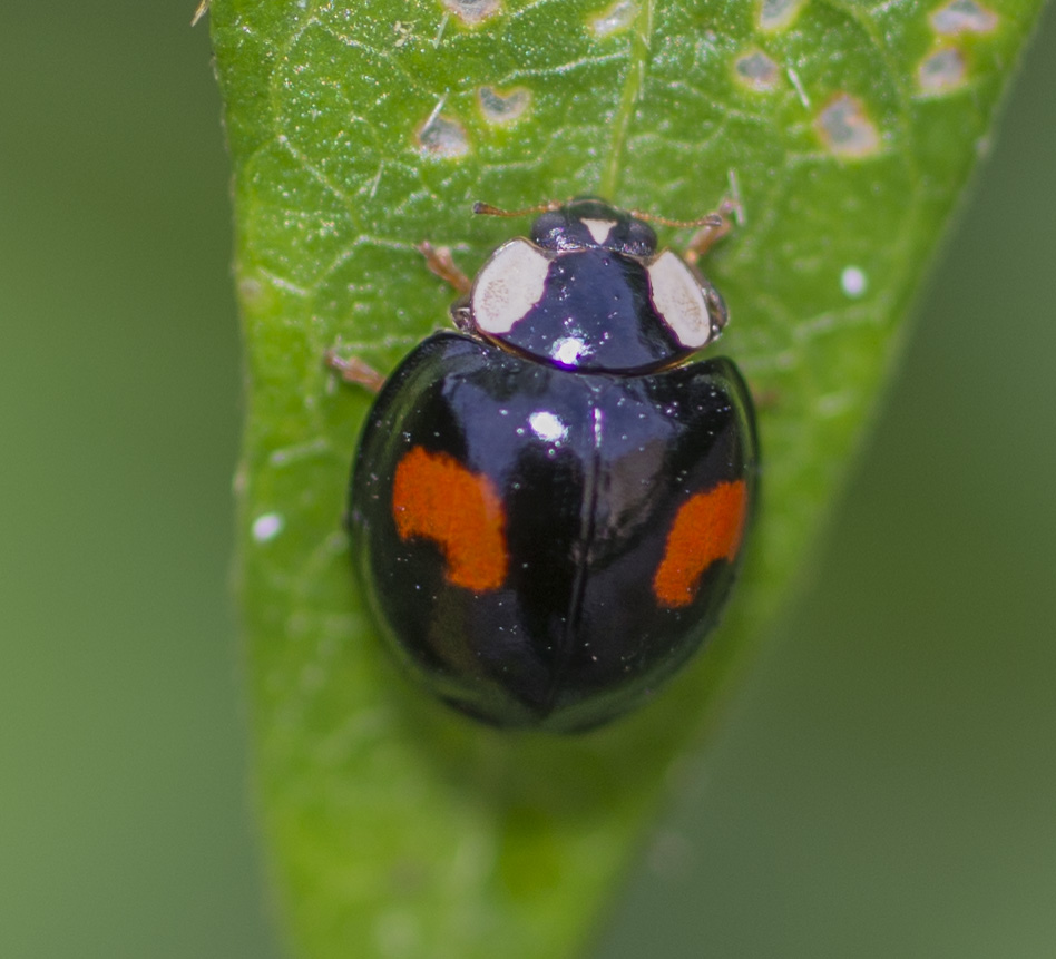 Harlequin Ladybird (3 distinct color forms)
