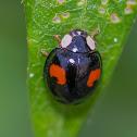 Harlequin Ladybird (3 distinct color forms)