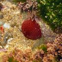 Sea Strawberry