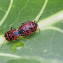 Cauliflower Shield Bug