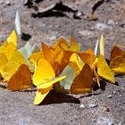 Pierid butterflies