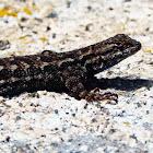Sierra Fence Lizard