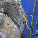 Common Seadragon