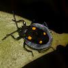 Handsome Fungus Beetle - Male