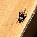 Common Garden Cricket