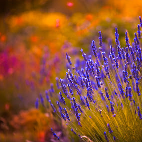 Autumn  lavendar by Marjorie Speiser - Flowers Flower Gardens ( fragrance, body, aroma, treatment, farmland, botanical, fragrant, nature, care, ingredient, medicine, flower, spa, isolated, lilac, agriculture, relaxing, lavender, rural, scent, provence, herb, perfume, natural, floral, plant, aromatic, colorful, botany, beauty, pampering, farm, details, bath, lavandula, bunch, closeup, purple, aromatherapy, relaxation, field, organic, color, violet, background, medicinal, herbal, springtime, garden, cosmetic,  )
