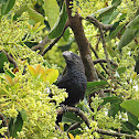 Anu Preto - Smooth-billed ani