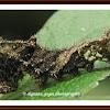 Common Sailor Caterpillar
