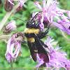 Mamangava (Bumble bee)