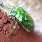 Juniper Stinkbug