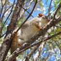 Common Ringtail Possum (male)