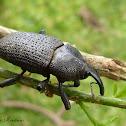 Giant black weevil