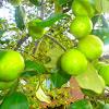 india apple..