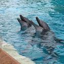 Atlantic bottle-nosed dolphin