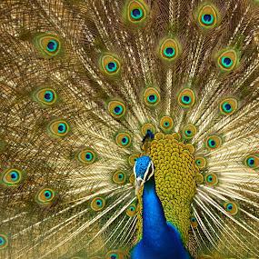 Peafowl Dance by Arsalan Sandhila - Animals Birds (  )
