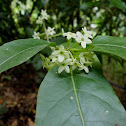 Night-blooming jessamine