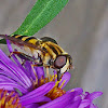 Hover Fly aka Flower fly