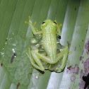 Starrett's glass frog (male guarding eggs)