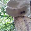 Handsome Fungus Beetle