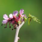 Mexican Buckeye Bloom