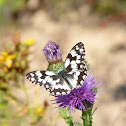 Schachbrett / Marbled White