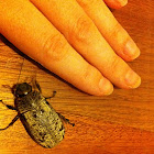 Cane Beetle