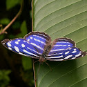 Banded Purple Wing
